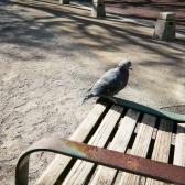 お昼の相棒の鳩。