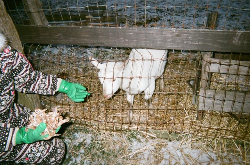 朝飼いでのヤギのエサやり