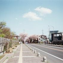通勤風景の桜並木